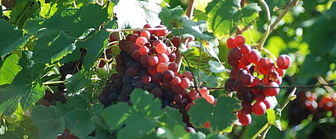 Trauben, Weintrauben, Weinrebe, Wein, Burgwerben